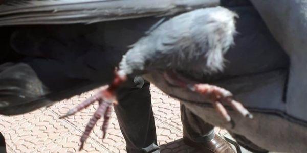 İnşaat demirine ayağı sıkışan güvercin kurtarıldı